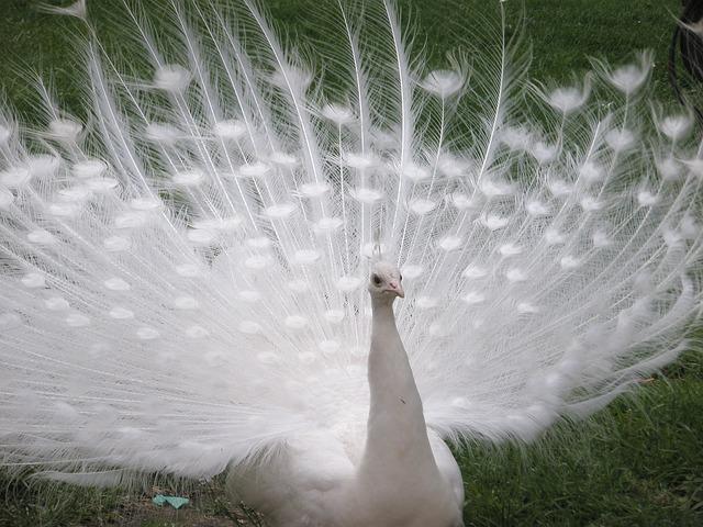 peacock-141992_640